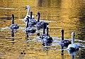 Autumn swans (36687769964).jpg