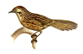 Chinese babax species of bird