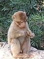Baby Monkey, Cascades dOuzoud (363261706).jpg