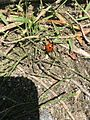 Baby lady bug at beas river.jpg