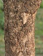 Bael (Aegle marmelos) trunk at Narendrapur W IMG 4113