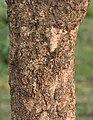 Bael (Aegle marmelos) trunk at Narendrapur W IMG 4113.jpg