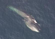 7d74d5938ee5 Sei whale - Wikipedia