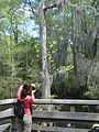 Bald Cypress photography (7112877767).jpg