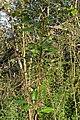 Balsam Poplar (Populus balsamifera) - Guelph, Ontario 2020-05-27.jpg
