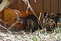 Banded Mongooses (Mungos mungo) under the restaurant terrace ... (31593747934).jpg