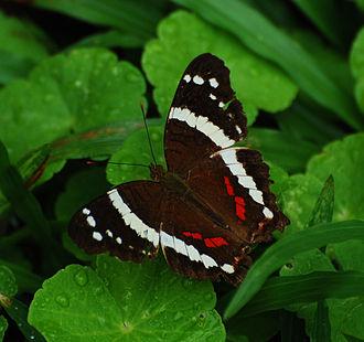 Anartia fatima - Image: Banded Peacock