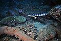 Banded Sea Krait Laticauda colubrina (7976706806).jpg