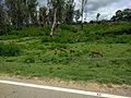 Bandipur forest scene.jpg