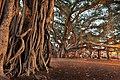 Banyan Tree in Lahaina, Hawaii (14272794208).jpg