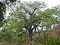 Baobab (Adansonia digitata) (11755795956).jpg