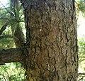 Bark of korean pine.jpg