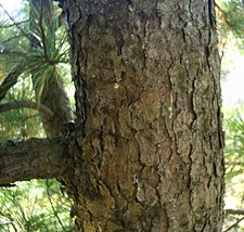 Bark of korean pine.jpg