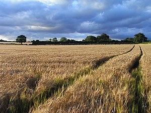 Bishops Sutton - Image: Barley, Bishop's Sutton geograph.org.uk 1595571