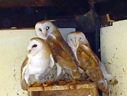 Barn owls revivim.jpg