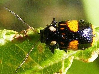Bassareus (beetle) - Bassareus mammifer