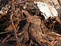 Baumstumpf ausgegraben.JPG