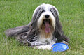 Bearded Collie live.jpg