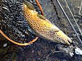 Beautiful Brown Trout.jpg