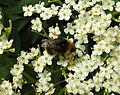 Bee (28082444516).jpg