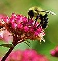 Bee (87382769).jpeg