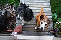 Begging dogs (7859535636).jpg