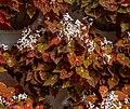 Begonia 'Marmalade', Christchurch Botanic Gardens, New Zealand.jpg