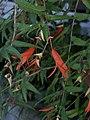 Begonia boliviensis.jpg