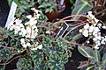 Begonia boweri Tigera.JPG