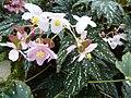 Begonia deliciosa-plant.JPG