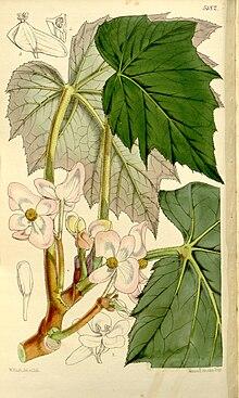 Begonia Palmata Wikipedia