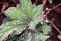 Begonia rex 2zz.jpg
