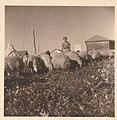 Beit Zera 1948 The flock of sheep with Eliezer Bashan.jpg