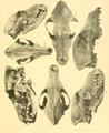 Beitrag zur Kenntnis der nordafrikanischen Schakale nebst Bemerkungen über deren verhältnis zu den haushunden, insbesondere uordafranischen und altägyptischen Hunderassen (1908) Tafel 10.png