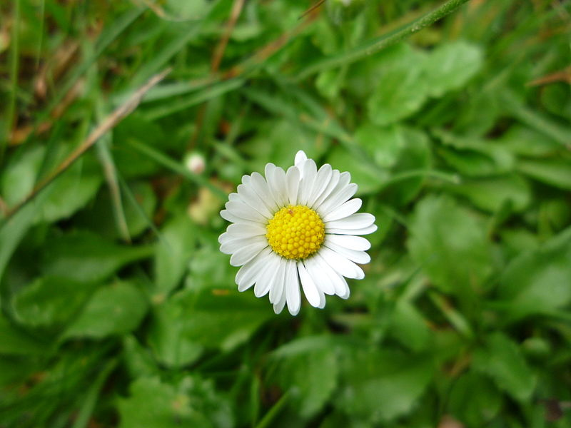 Bellis perennis - the common daisy.