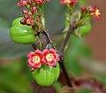 Bellyache Bush (Jatropha gossipifolia) in Hyderabad, AP W IMG 9470.jpg
