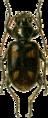 Bembidium quadripustulatum Jacobson.png