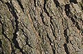 Bender Oak Quercus x benderi (32-0145-A) Trunk Bark Closeup.JPG