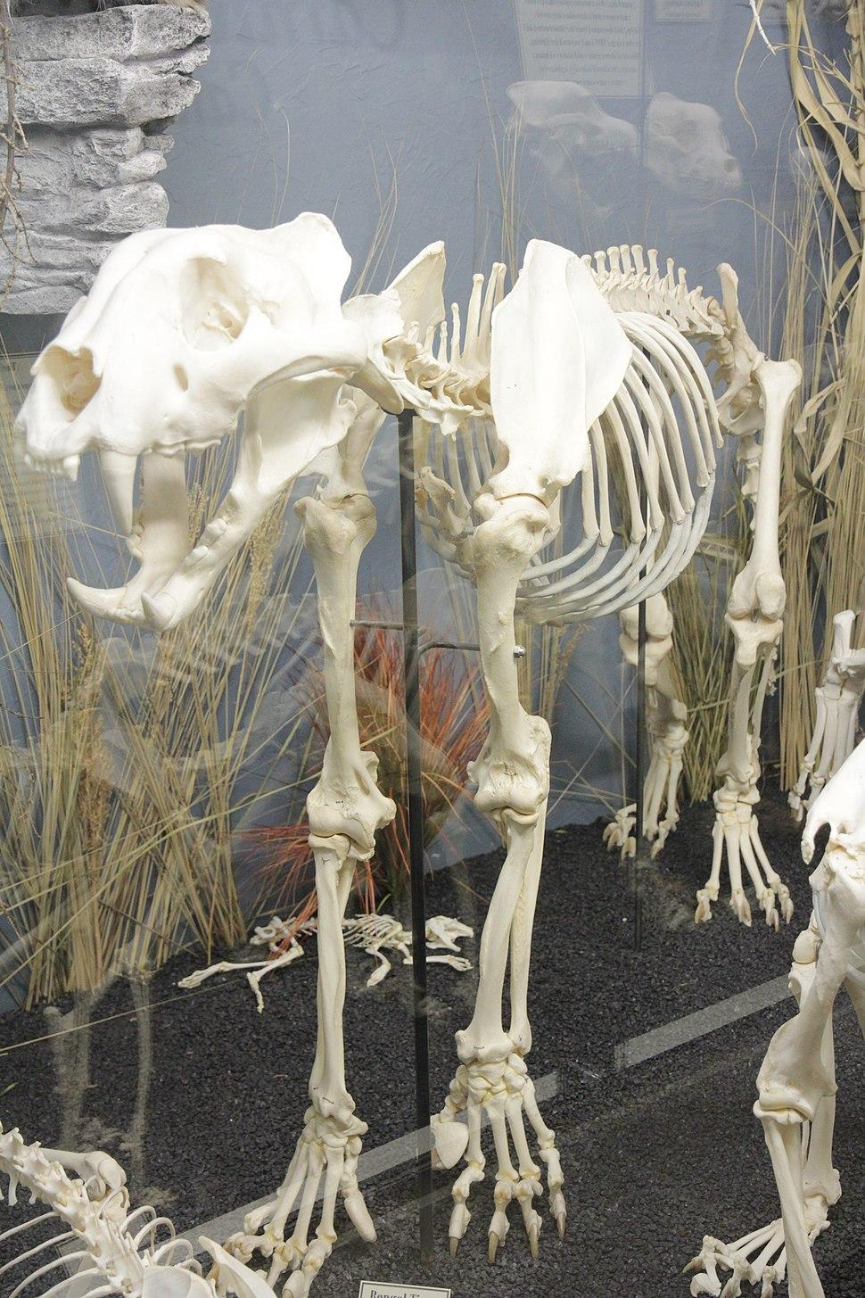Bengal Tiger Skeleton