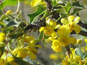 Kofa National Wildlife Refuge - Image: Berberis harrisoniana 005