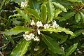 Bergamot orange - Ferragudo Portugal 05.03.2016-001 (25430522102).jpg