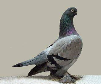 Tumbler pigeons - Berlin Short-faced Tumbler