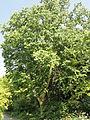 Betula maximowicziana - Botanischer Garten, Frankfurt am Main - DSC03341.JPG