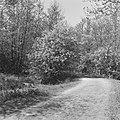 Beuken, bossen, bloei, fazanten, bos, prunus serotina, Middachten, Bestanddeelnr 165-0806.jpg