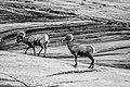 Bighorn Sheep along The Wave Trail - Near Page, Arizona.jpg