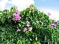 Bignonia corymbosa 2.jpg