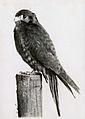 Bird on post (3528710667).jpg