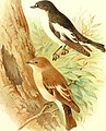 Birds of Great Britain and Ireland (1907) (14732227946).jpg