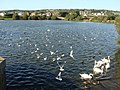 Birds on the lake at Llanelli Water Park - geograph.org.uk - 1480669.jpg