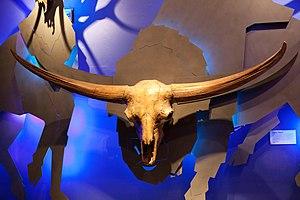 Bison latifrons - Skull at the Royal Tyrell Museum in Drumheller, Alberta, Canada
